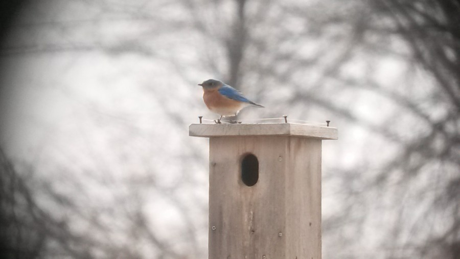 "The Bluebirds are back in Warner Park. Thanks to our manmade nests on our ""Bluebird Trail,"" bluebirds are making a comeback. (Paul Noeldner)"