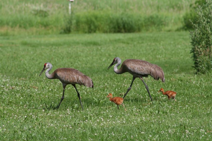 "Warner Park's resident crane pair is back, with two baby chicks -- called ""colts."" The family is often seen along Forester Drive. They feed on the prairie island that once was used to explode fireworks. We believe they nest on the marsh island, protected by the wetland moat. For a couple more shots click here. (Greg Weller photos)"