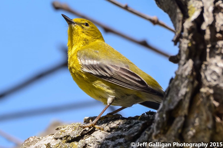 Species 140 - A Pine Warbler was spotted in Warner Park this spring, bringing to 140 the number of bird species that use the park. (Jeff Galligan)
