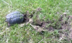 Warner Park is turtle heaven - this snapping turtle (Chelydra serpentina) was laying eggs in the lawn at Warner Park. We've also spotted an endangered Blanding's turtle and lots of painted turtles. Watch for them sunning on logs in the wetland. (Tim Nelson June 8, 2013)