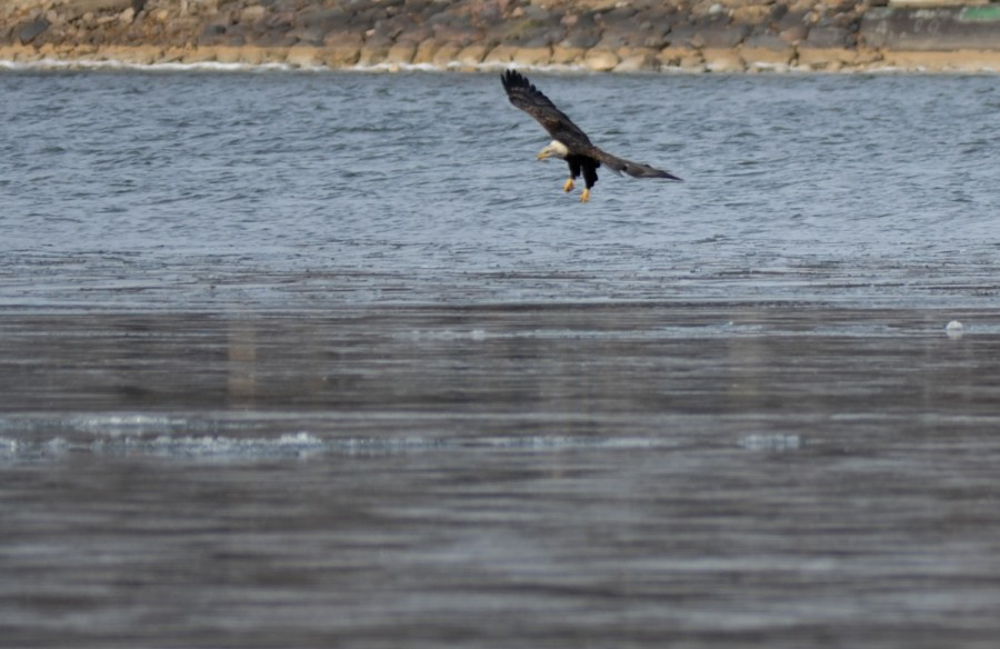 Bald Eagle Hunting - With the concentration of migrating birds and fish at the edge of the ice along Warner Beach, birders are spotting a mashup of prey and predator. For more photos shot on Sunday 12/7/14 click here for our blog. (Bonnie Tiedt)