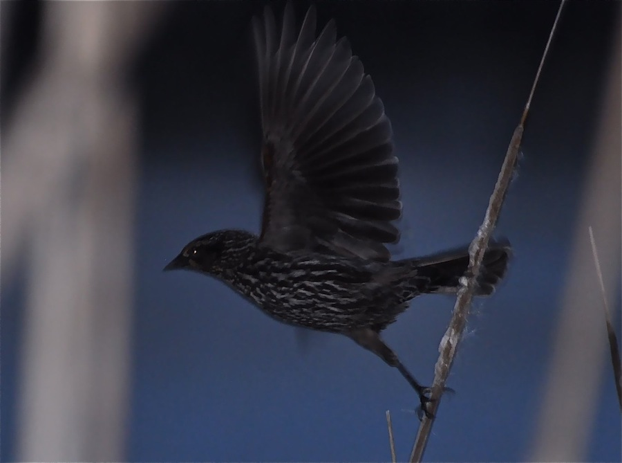 ON THE WING - This female red-winged blackbird was caught just leaving a cattail stalk by Dr. Wang Dajun, a visiting wildlife biologist at UW Madison. For a portfolio of Dr. Wang's photos -- all shot standing in one spot in the park, click here.